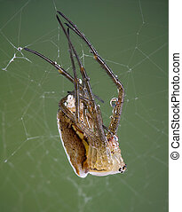 Shedding Argiope Spider - A young argiope spider is shedding...