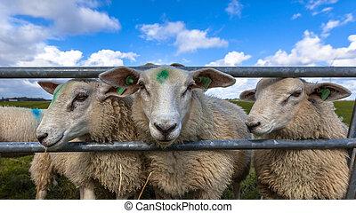 sheep, ακρωτήριο , texel