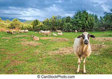 sheep, μέσα , βοσκή