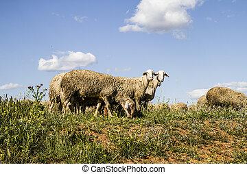 sheep, μέσα , σιτάλευρο αγρός , και , καλοκαίρι , ελευθερία