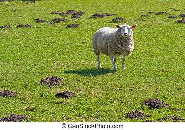 sheep, πεδίο , εύχυμος , (1), γρασίδι , texel