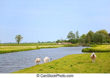 sheep, τοπίο , συμβία