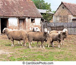 sheep, קבץ