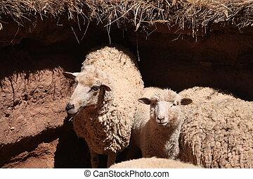 sheep, パドック