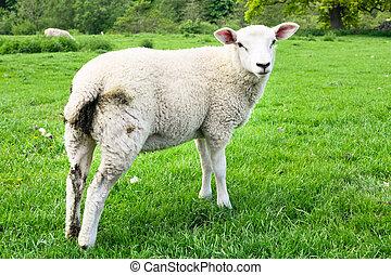 sheep, フィールド