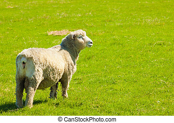 sheep, フィールド, 緑