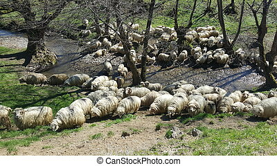 sheep, 一団, 牧草