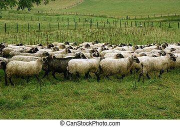 sheep, 一団, 緑の採草地, ヤギ