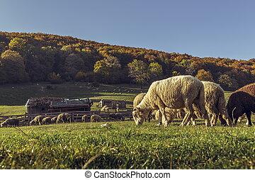 sheep, 一団, sheepfold, 牧草