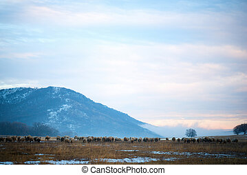 sheep, 中に, 雪が覆われる, オランダ語, 田舎, の間, a, 冬, sunset.