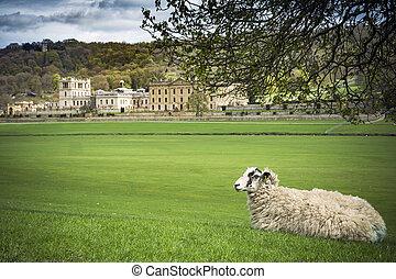 sheep, 休む, グラウンド, 堂々としている, 家