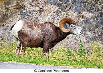 sheep, 吃, 加拿大盤羊, 向前, 男性, 高速公路