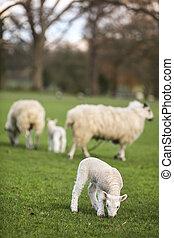 sheep, 同时,, 春天, 婴儿, 小羊, 在中, a, 领域