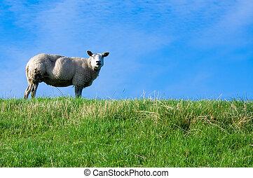 sheep, 在上, 新鲜, 绿色的草