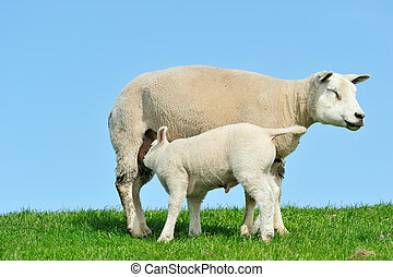 sheep, 子羊, 彼女, 春, 母, 牛乳