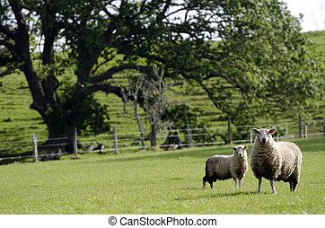 sheep, 子羊, 彼女, 母