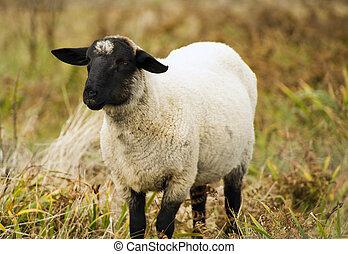 sheep, 家畜, 農場, 大農場, 國內, 動物, 哺乳動物, 吃草