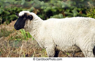 sheep, 家畜, 農場, 牧場, 家畜, ほ乳類, 牧草