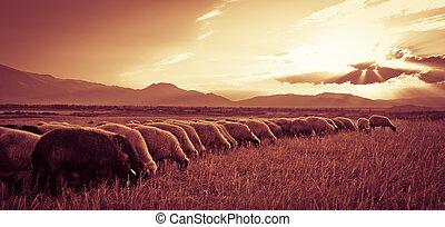 sheep, 日没