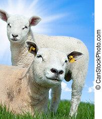 sheep, 春, 子羊, 彼女, 母