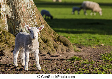 sheep, 春, 子羊, 赤ん坊, フィールド