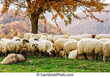 sheep, 木, transylvania, 下に