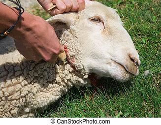 sheep, 殺す, 人