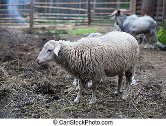 sheep, 田園, パドック