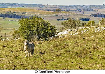sheep, 田舎, maldonado, ウルグアイ