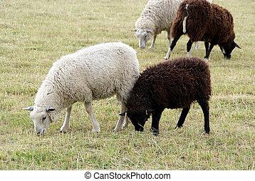 sheep, 白, 黒