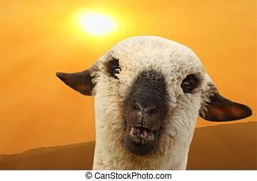 sheep, 肖像画, 日没