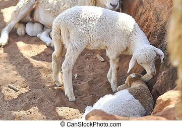 sheep, 若い