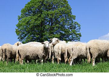sheep, 見る, カメラ