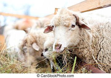 sheep, 食べること, 農場, 干し草, 田園, 草