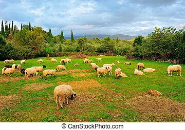 sheep, 에서, 목장