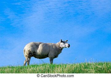 sheep, 통하고 있는, 신선한, 녹색 잔디
