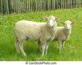 Sheep #2 - Two sheep.