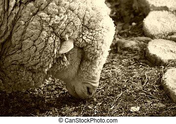 sheep, 3