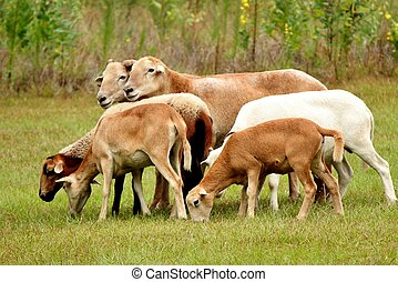 Sheep 4 - Sheep walking in a pasture in a rural setting