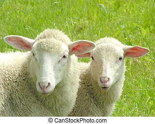 Sheep #4 - Close-up of two sheep.