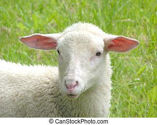 Sheep #5 - Young sheep.