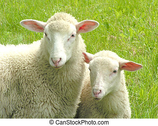 Sheep #6 - Close-up of two sheep.