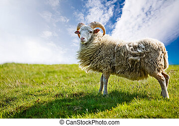 Sheep - A sheep isolated against a sky