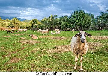 sheep, alatt, legelő