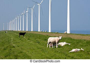 Sheep along the Dutch coast with windmills