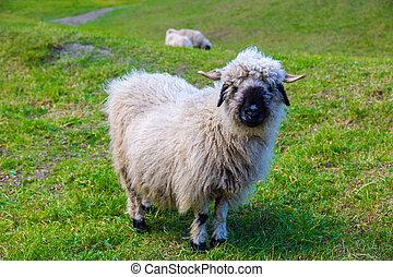 sheep, alpes, valais, blacknose
