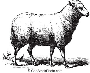 Sheep - Ancient vector engraving of a sheep isolated on...