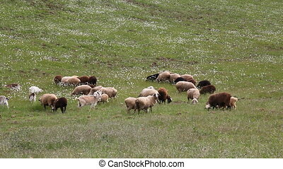 sheep and goats graze in the field