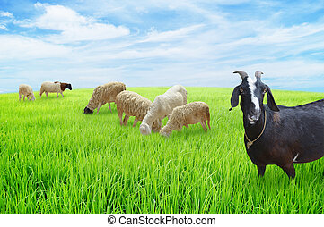 sheep and goats graze on meadow
