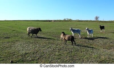 sheep and goats grazing on the gras